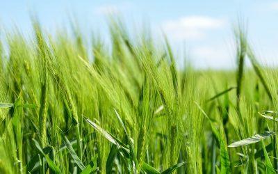 barley 872000 1920 400x250 - Odkryté Lži