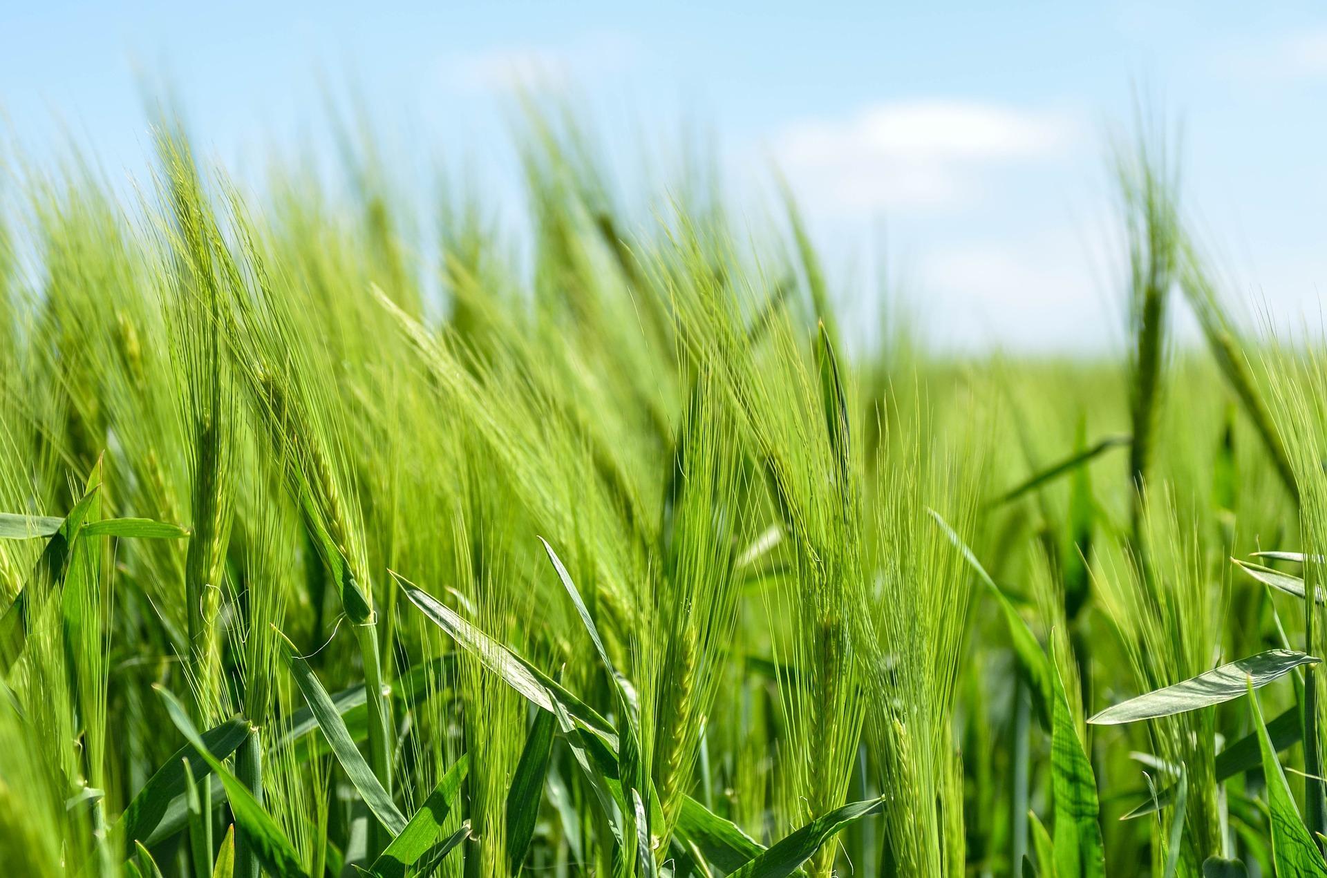 barley 872000 1920 - Kolik procent křesťanů jde špatně
