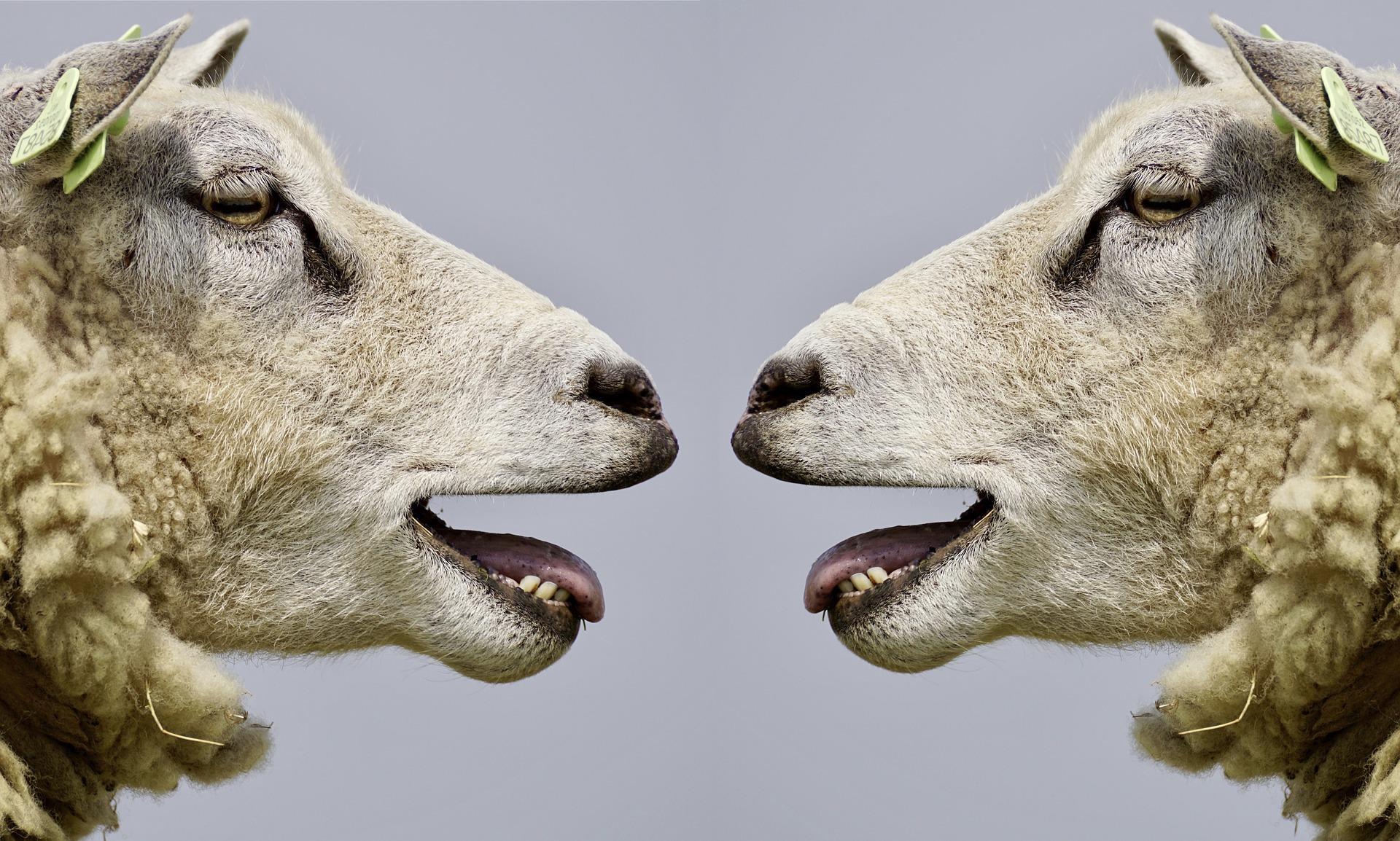 sheep 2372148 1920 - Reakce, se kterými se křesťané nejčastěji setkávají